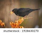 Blackbird  Turdus Merula  On...