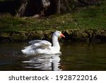 A White Goose Swims On A Lake