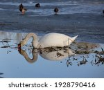 A White Swan  Lying On The...