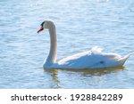 Graceful White Swan Swimming In ...
