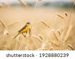 Western Yellow Wagtail....