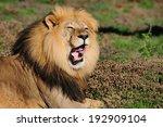 A Kalahari Lion  Panthera Leo ...