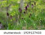 Lady Orchid Orchis Purpurea...