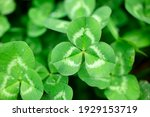 Green Clover In The Field