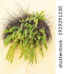 Ornamental Outdoor Fern With...