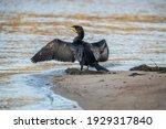 Cormorant On The Seashore ...