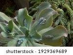 Exotic Hybrid Succulent Plants. ...