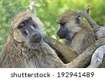 baboons in the natural habitat. ... | Shutterstock . vector #192941489