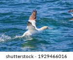 Northern Gannet Takes Off At...