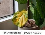 A Beautiful Fiddle Leaf Fig...