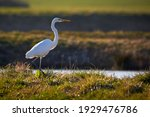 Great Egret Or Great White...