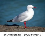 Adult Silver Gull In Queensland....