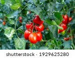 Closeup Of Cluster Of Ripe Red...