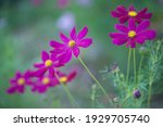 Purple Mexican Aster  Cosmos...