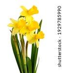 Pretty Yellow Daffodils Flowers ...