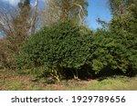 Winter Evergreen Foliage Of A...