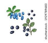 Blue Berries. Vector Color...