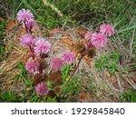 Invasive Pink Pom Pom Flower...