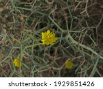 Yellow Flower Of A Thorny Tree