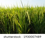 The Verdant Ears Of Rice Are...