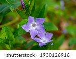 Beautiful Purple Flower Of...