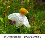 Romneya Coulteri Coulter's...