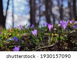 Purple Wild Crocuses In The...