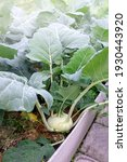 Small photo of kohlrabi in the garden. Kohlrabi cabbage plant in an eco-friendly garden on the farm. Selective focus.