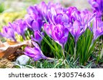 First Crocuses  Purple Spring...