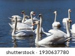 Close Up Group Of Swans In...