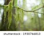 Hanging Moss From Tree Branch...