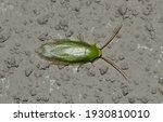 Cuban Cockroach  Panchlora...