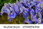 Mini Blue Iris Flower  Macro