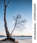 Bent Bonsai Birch Tree On Sandy ...