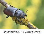 Female of the stag beetle on a...