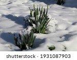 Budding Daffodils Growing In...