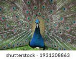A Male Peacock With The...