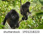 Mantle Howler Monkey Feeding...