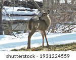 A Young White Tailed Deer In...