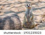 Slender Tailed Meerkat In The...
