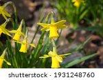 Yellow Mini Daffodils Begins...