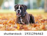 Cute Brindle Boxer Dog Posing...