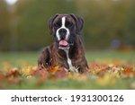 Brindle Boxer Dog Posing...