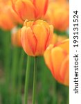 Red Orange Tulips