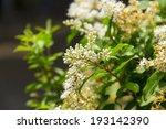 ligustrum lucidum in the... | Shutterstock . vector #193142390