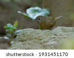 Small photo of Variable limestone babbler, Greyish Limestone Babbler, Limestone wren-babbler Stand on a pile of cement and green leaves.