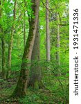 Natural mixed tree stand with...