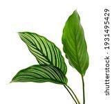 Calathea Vittata Leaves  Green...