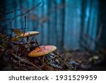 Fly Agaric In A Misty Forest In ...