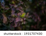 guava fruit tree in an organic... | Shutterstock . vector #1931707430
